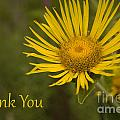 Thank You Yellow Aster by Darleen Stry