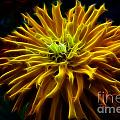 thank you Zinnia Flower by Darleen Stry