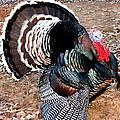 Thanksgiving Turkey Jitters by Kathy  White