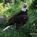 The American Bald Eagle IIi by Lee Dos Santos