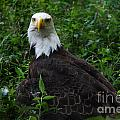 The American Bald Eagle Iv by Lee Dos Santos