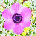 The Anemone Is So Pink by Steve Taylor