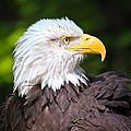 The Bald Eagle by Steve McKinzie