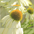 The Beauty Of The Coneflower by Kay Jantzi