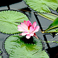 The beauty of Water Lily by Jasna Buncic