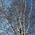 The Birch by Michael Goyberg