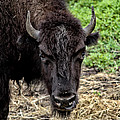 The Bison Stare by Karol Livote