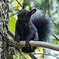 The Black Abert's Squirrel by Beth Riser