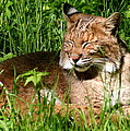 The Bobcat's Afternoon Nap by Laurel Talabere