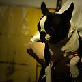 The Boston Bull Terrier  by Steven Digman