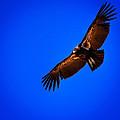 The California Condor by David Patterson