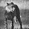 The Cheetah  by Saija  Lehtonen