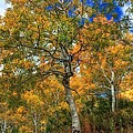 The Colors Of The Aspen Forest by Mitch Johanson