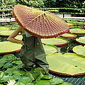 The Cut Pad Of A Victoria Amazonica by Jonathan Blair
