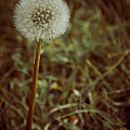 The Dandelion by Tracy Shafer