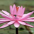 The Dragonfly And The Pink Water Lily by Sabrina L Ryan
