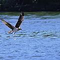 The Environmentalist Osprey by Randall Branham