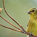 The Finch  by Saija  Lehtonen