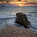 The Gannet Colony by Ng Hock How