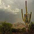 The Golden Saguaro  by Saija  Lehtonen