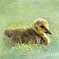 The Gosling by Betty LaRue