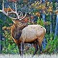 The Grand Elk by Connie Valasco