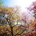 The Grandest Of Dreams - Cherry Blossoms - Brooklyn Botanic Garden by Vivienne Gucwa
