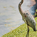 The Great Blue Heron by Donna Greene