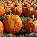 The Great Pumpkin Patch by Susan Herber