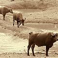 The Herd by Douglas Barnard