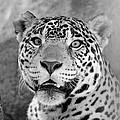 The Jaguar Spots You