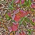 The Lenten Rose by Joshua House