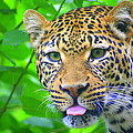 The Leopard's Tongue by Laurel Talabere