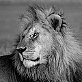 The Lion by Chris Minihane