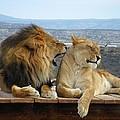 The Lions by Olga Vlasenko