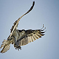 The Magnificent Osprey  by Saija  Lehtonen