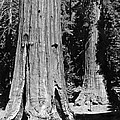 The Mariposa Grove In Yosemite by Underwood Archives