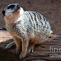 The Meercat  by Rob Hawkins