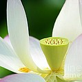 The Middle Of A Lotus by Sabrina L Ryan