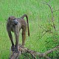 The Mighty Baboon by Sarah E Ethridge