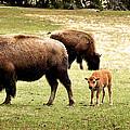 The Mighty Bison by Ellen Heaverlo