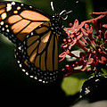 The Morning Monarch by Trish Tritz