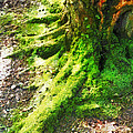 The Moss Covered Roots by Steve Taylor