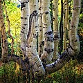 The Multiple Trunk Aspen Tree by Mitch Johanson