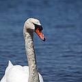 The Mute Swan by Karol Livote