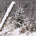 The Old Fence - Snowy Evergreen by Angie Rea
