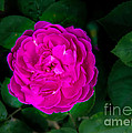 The Old Red Rose by Robert Bales