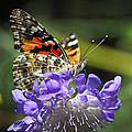 The Painted Lady Butterfly  by Saija  Lehtonen