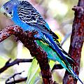 The Parakeet by Kathy  White