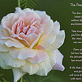 The Peace Rose by Kathy Clark